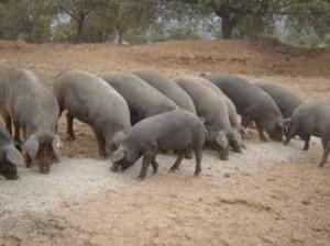 VII Matanza Popular del Cerdo
